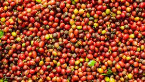 Что такое ферментация кофе